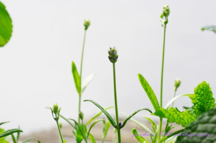 enbois et ennuage lavender love 12_05_2014 II